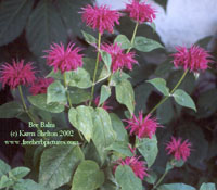 natural health herb bee balm from FreeHerbPictures.com
