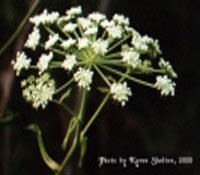 natural health herb angelica from FreeHerbPictures.com